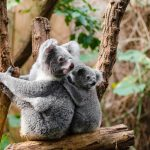 Koala 4
